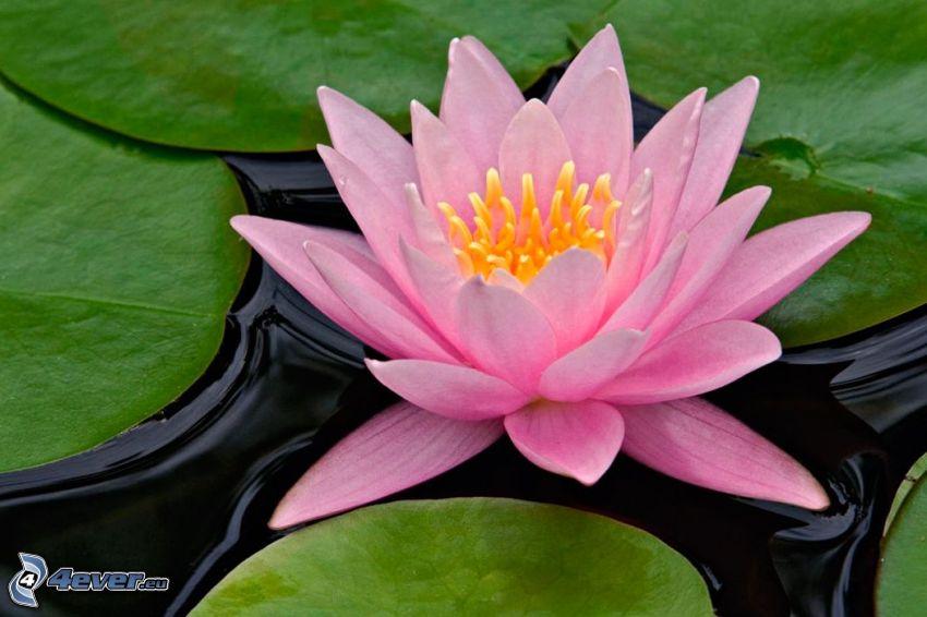 lotosový kvet, ružový kvet, lekná