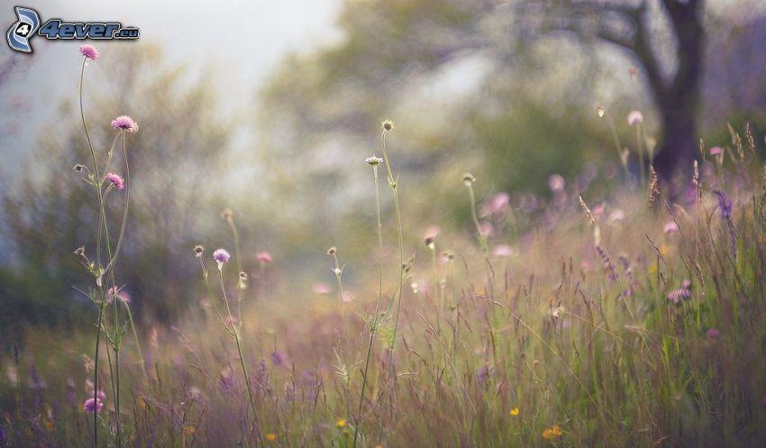 lúka, fialové kvety
