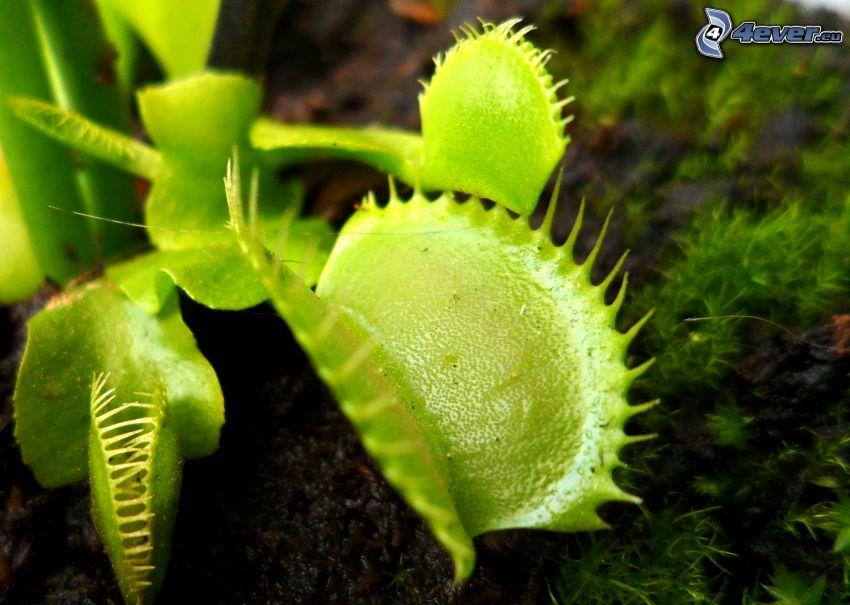 mäsožravá rastlina, mucholapka podivná, mach