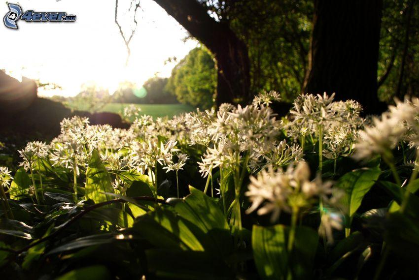 medvedí cesnak, biele kvety, stromy