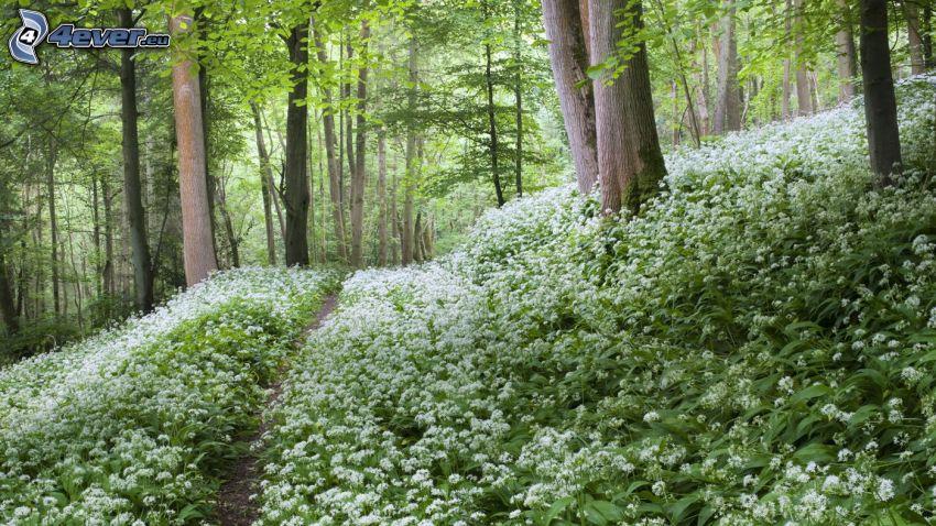 medvedí cesnak, les, cestička