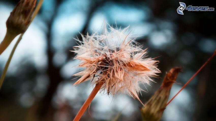 odkvitnutá púpava, suchý kvet