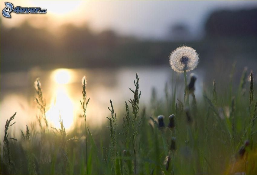 odkvitnutá púpava, vysoká tráva