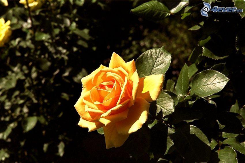 oranžová ruža