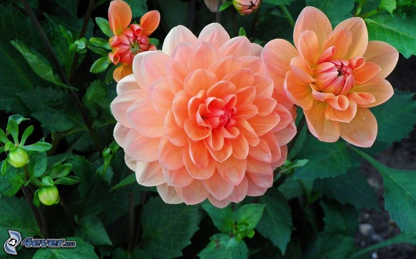 oranžový kvet
