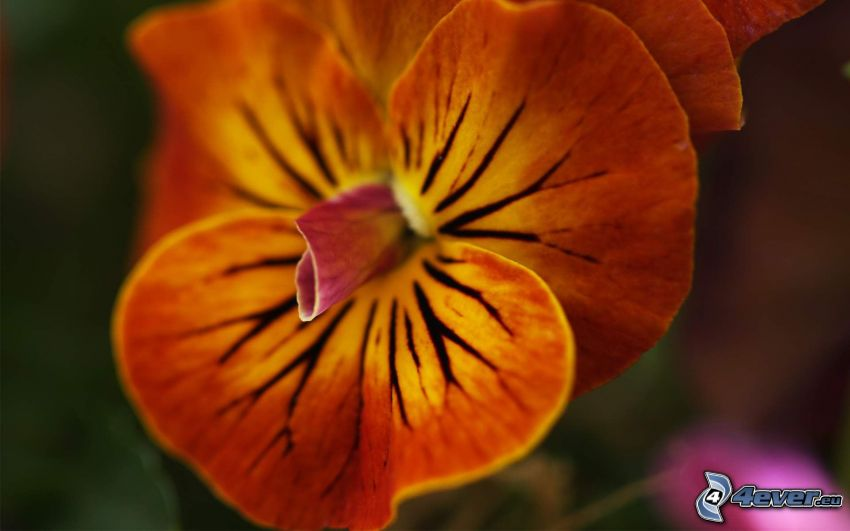 Orchidea, oranžový kvet