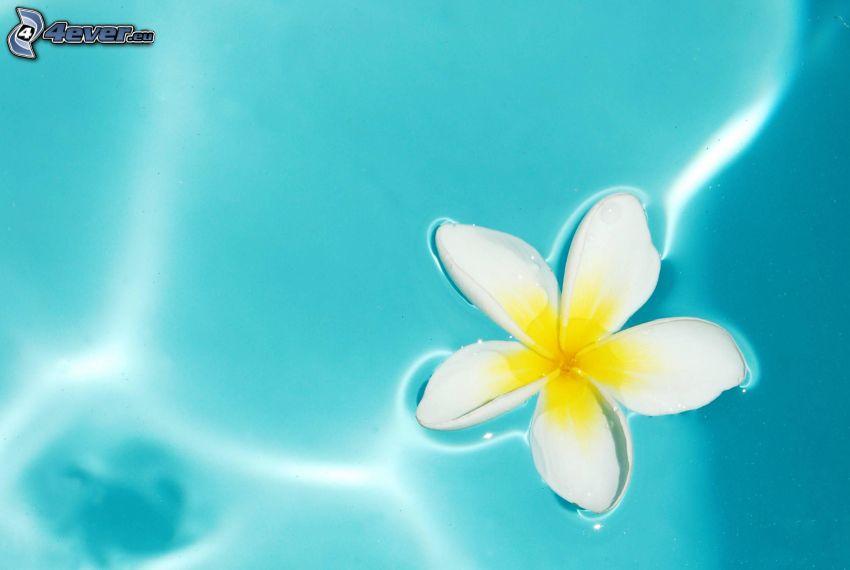 pluméria, biely kvet, vodná hladina
