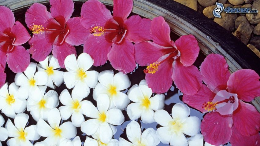 pluméria, fialové kvety, biele kvety