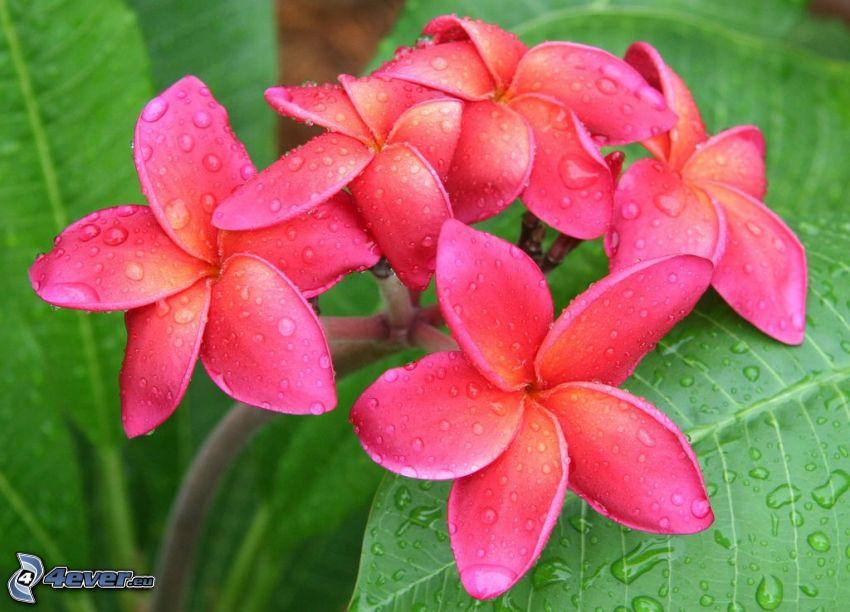 pluméria, ružové kvety, kvapky vody, zelené listy