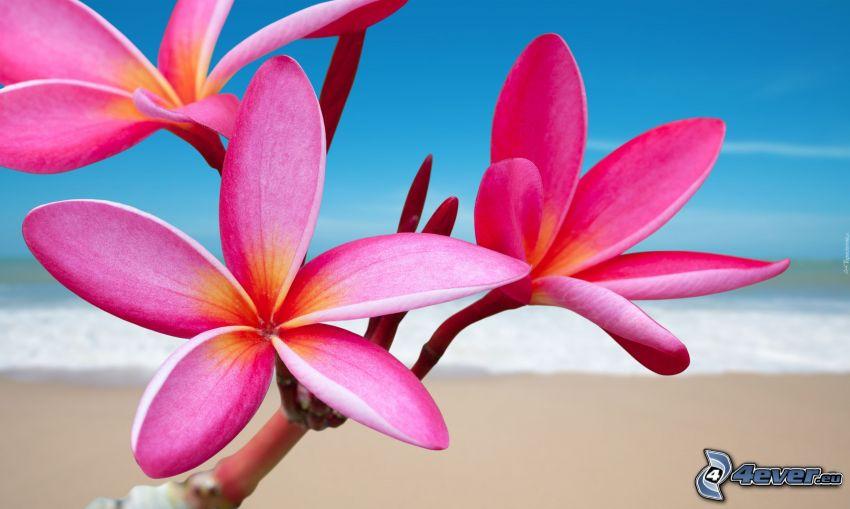 pluméria, ružové kvety, piesočná pláž