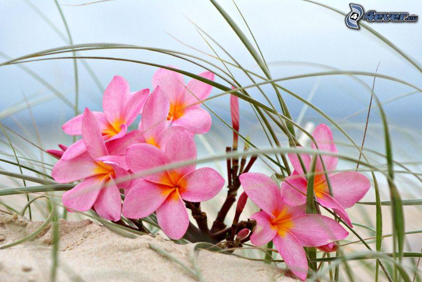 pluméria, ružové kvety, steblá trávy, piesok