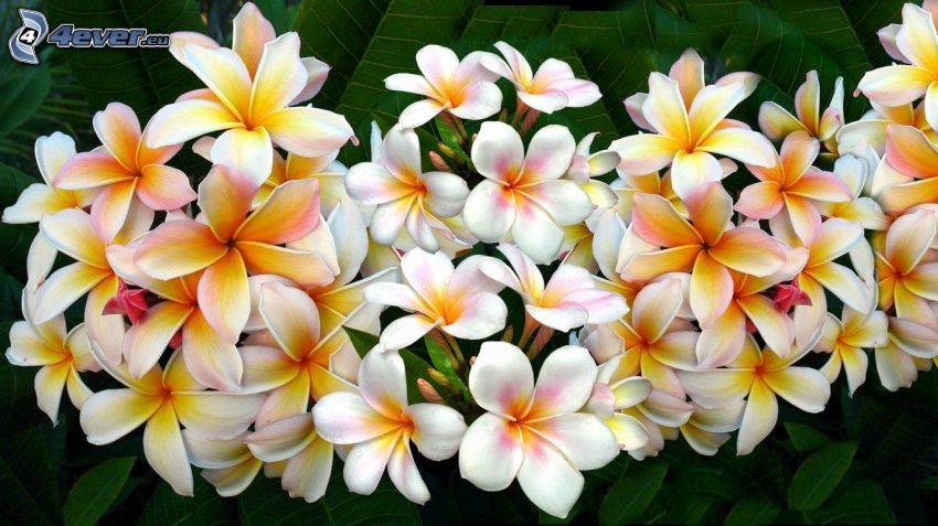 pluméria, žlté kvety