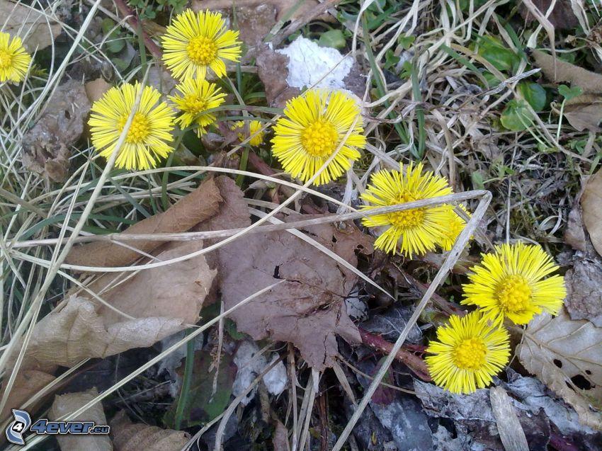 Podbeľ, žlté kvety, jesenné listy