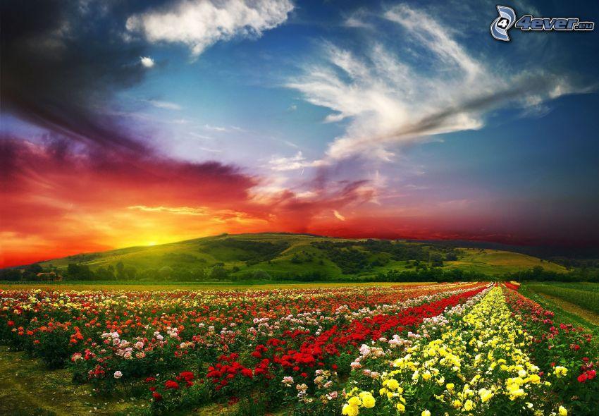 pole ruží, západ slnka za kopcom