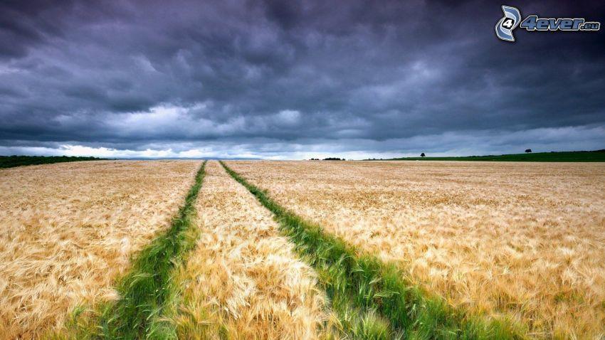 pšeničné pole, tmavá obloha