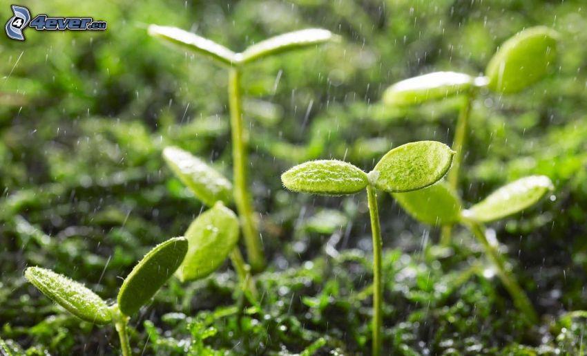 rastlinky, dážď