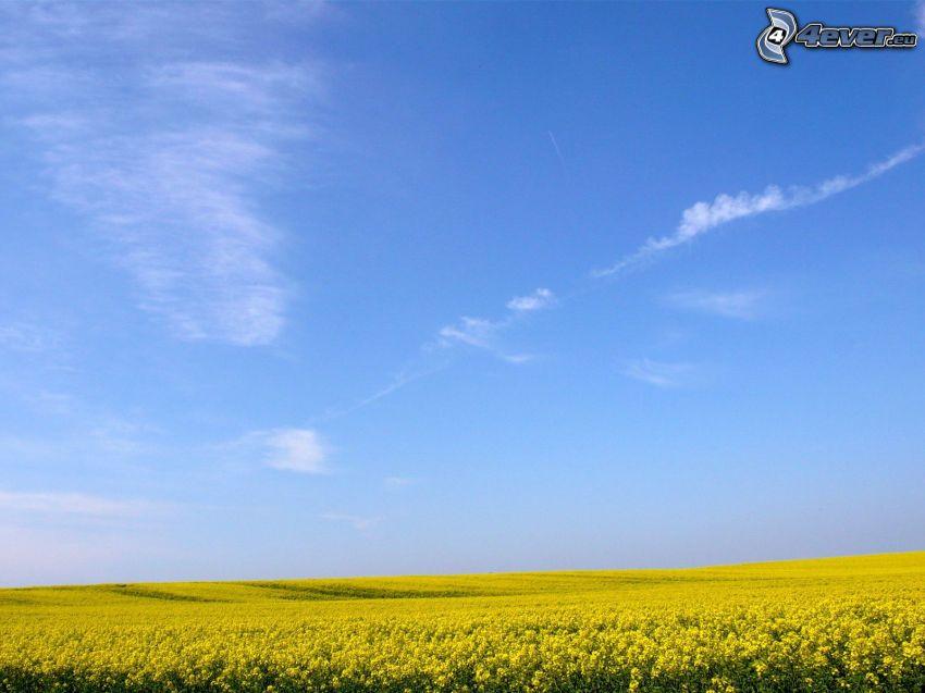 repka olejná, modrá obloha, pole