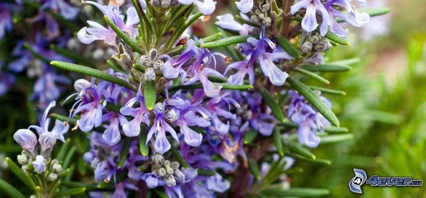 rozmarín, fialové kvety