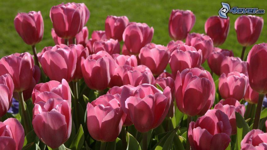 ružové tulipány