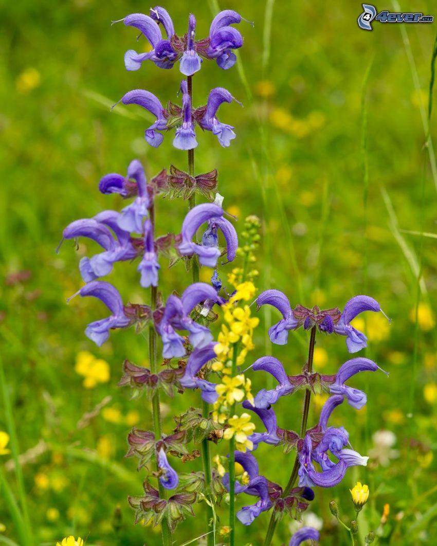 šalvia lúčna, repka olejná, fialové kvety