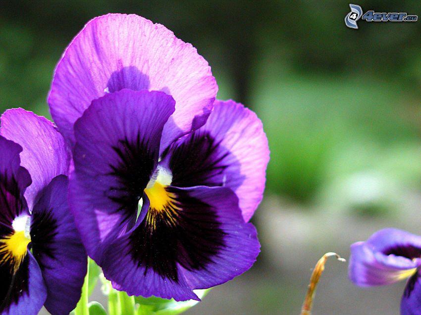 sirôtky, fialové kvety