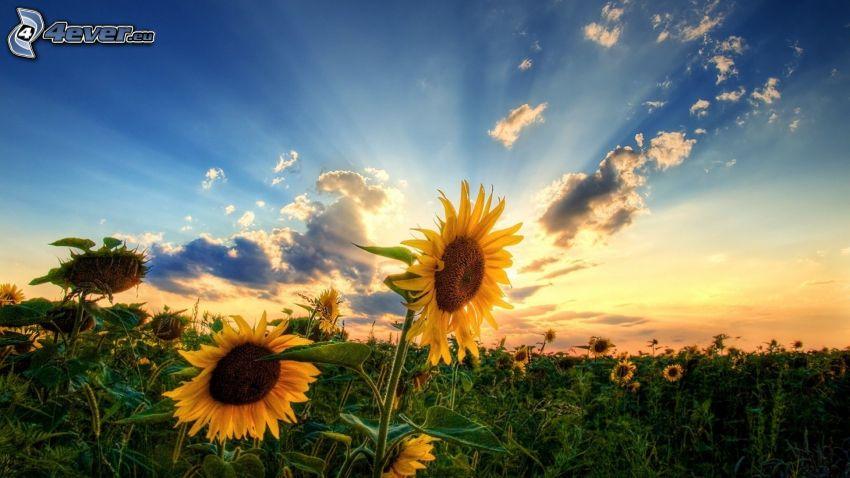 slnečnicové pole, západ slnka, slnečné lúče, HDR