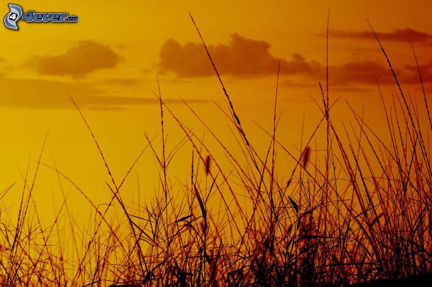 steblá trávy, oranžová obloha