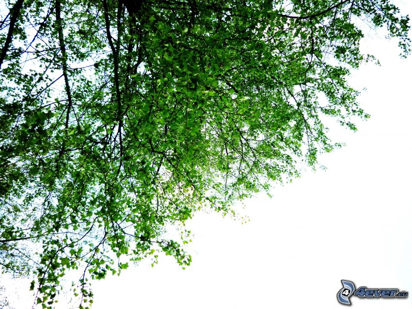 strom, zelené listy
