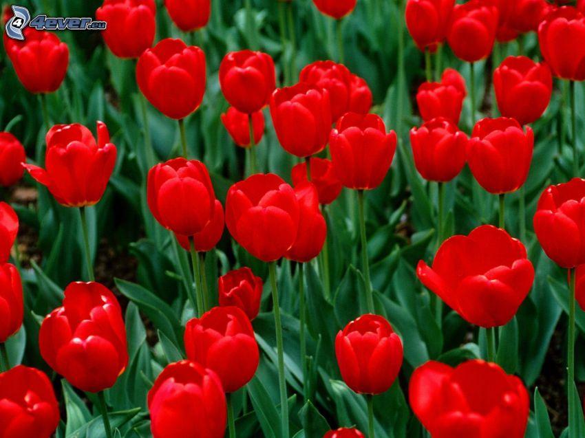 top, červené tulipány