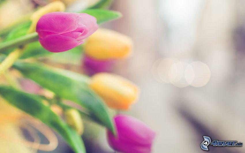 tulipány, fialové tulipány, žlté tulipány
