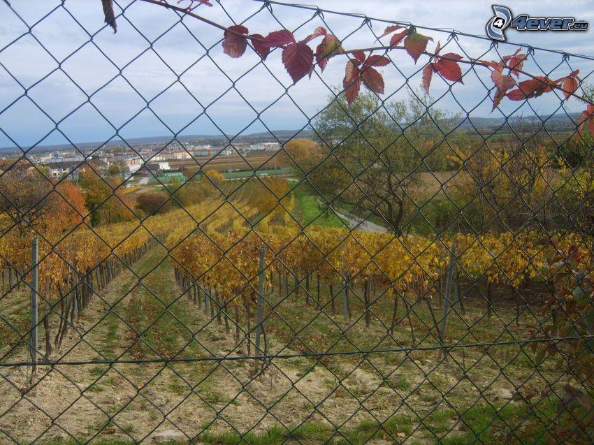 vinohrad, drôtený plot, výhľad na mesto