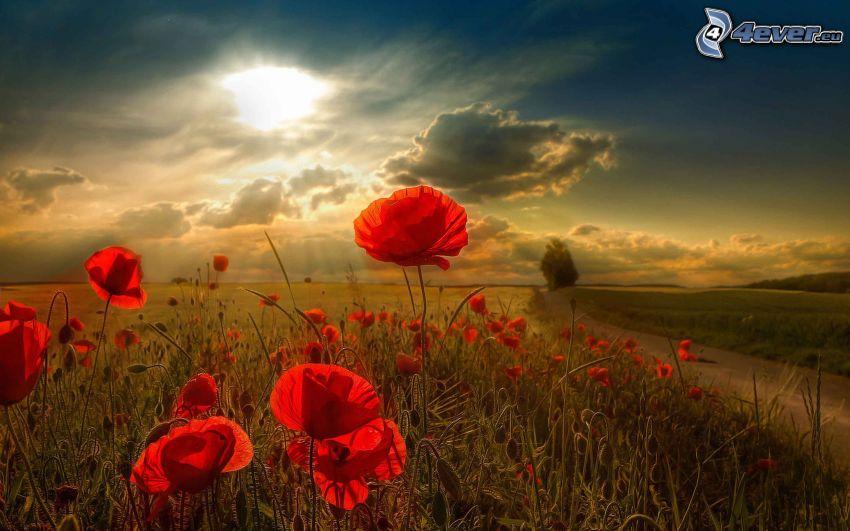 vlčí mak, pole, poľná cesta, slnko, slnečné lúče, oblaky