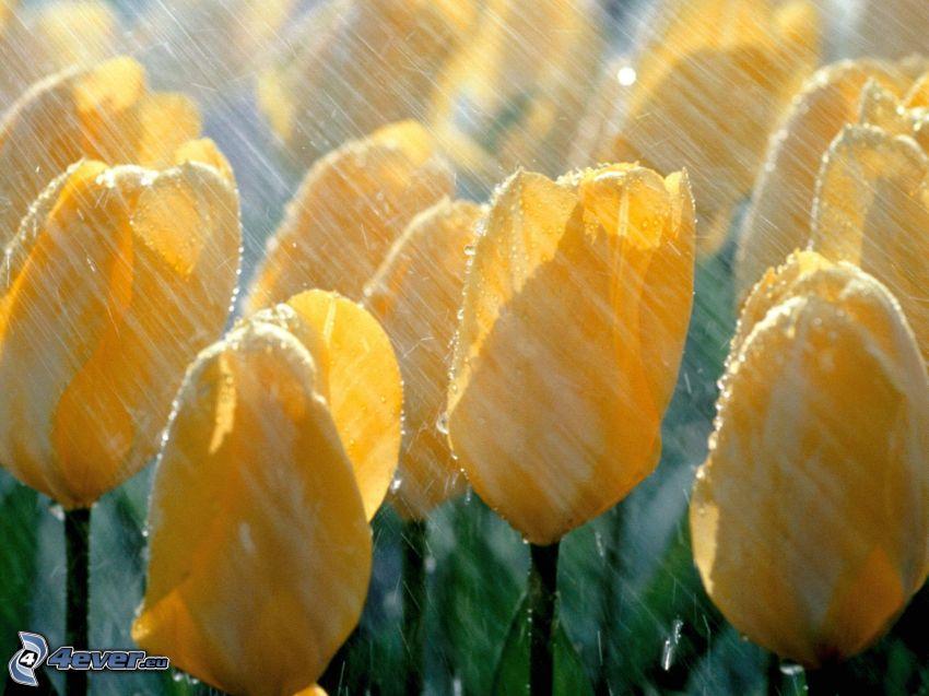 žlté tulipány, dážď