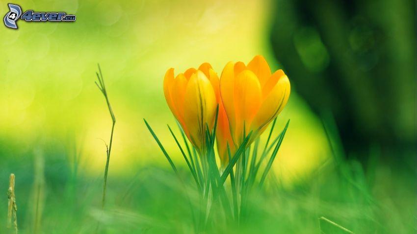 žlté tulipány, steblá trávy