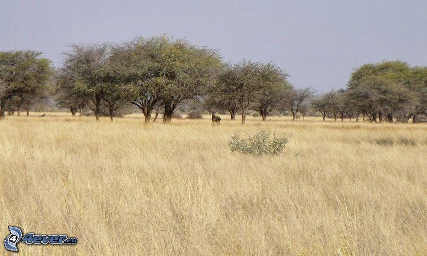 savana, stromy, suchá tráva