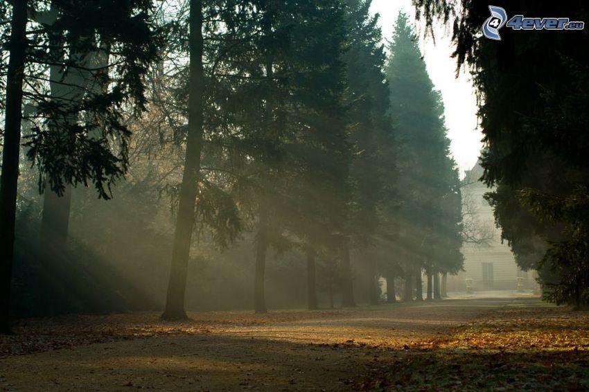 slnečné lúče, ihličnaté stromy