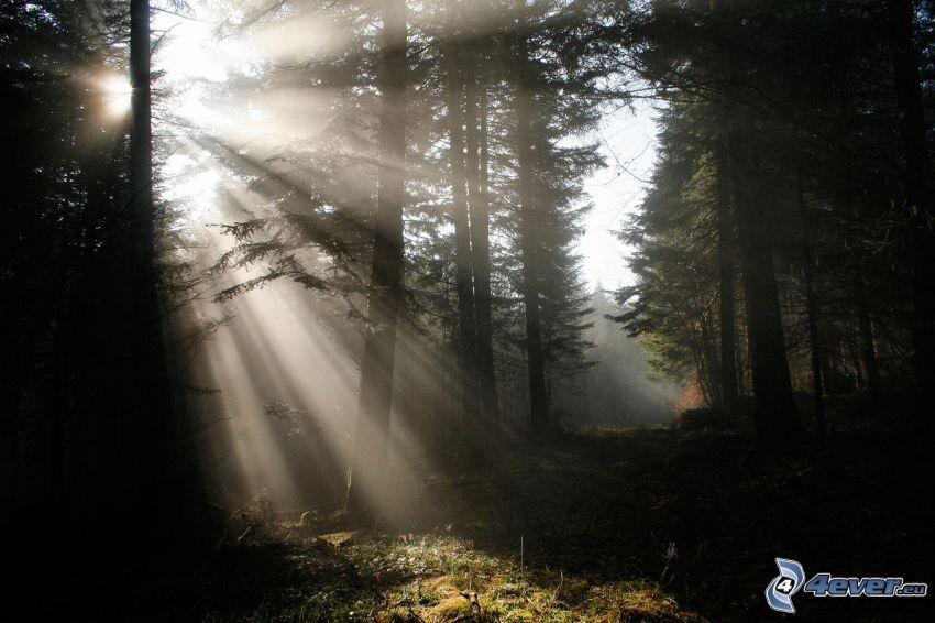 slnečné lúče, les