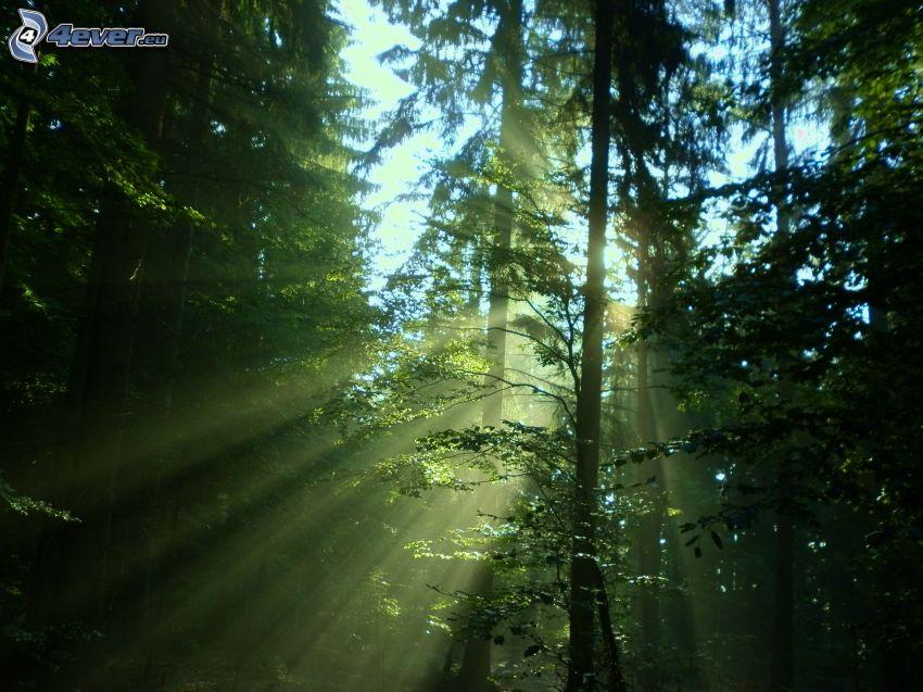 slnečné lúče v lese, ihličnatý les