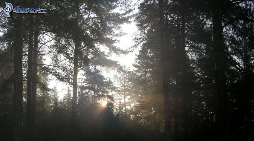 slnečné lúče v lese, východ slnka, ihličnatý les