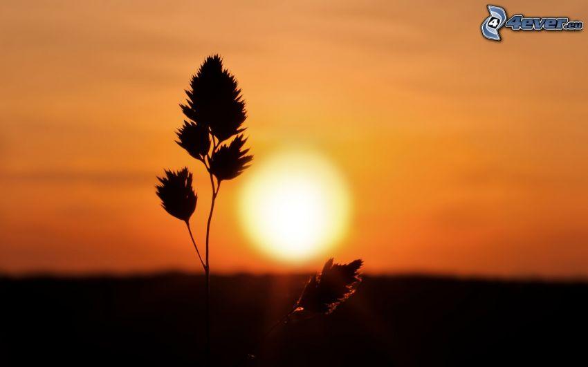 steblá trávy pri západe slnka, oranžová obloha