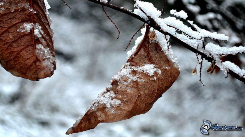 suché listy, zasnežený konár, sneh
