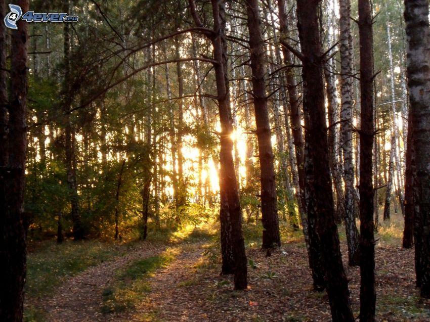 západ slnka v lese, lesná cesta, brezový les