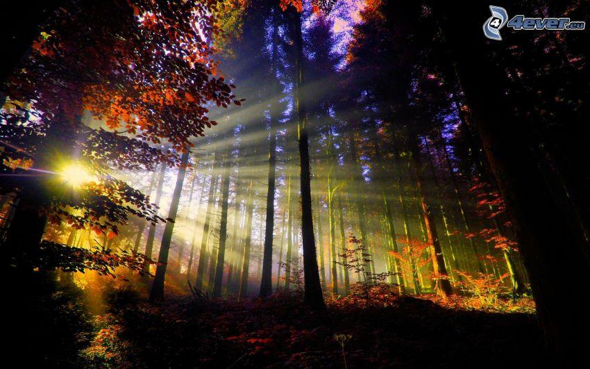 západ slnka v lese, slnečné lúče, siluety stromov