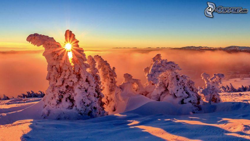 zasnežené stromy, západ slnka
