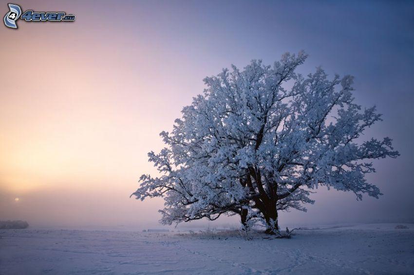 zasnežený strom, osamelý strom