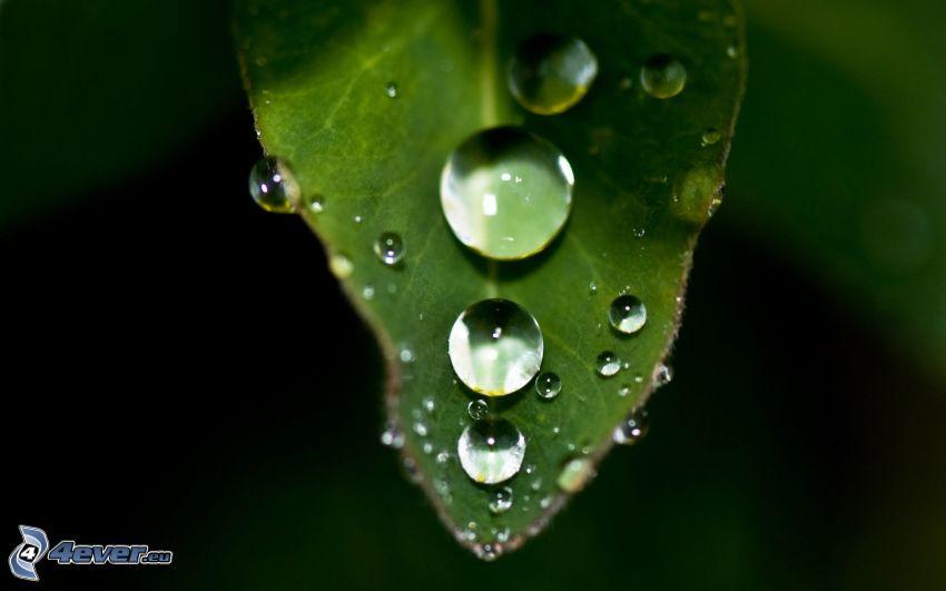 zelený list, kvapky vody, makro