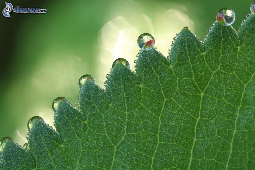 zelený list, kvapky vody