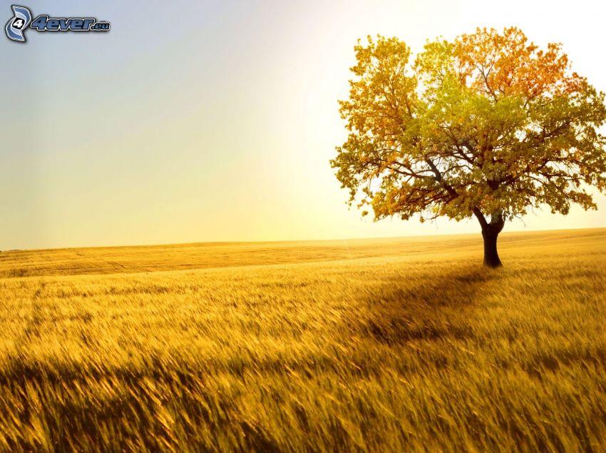 žltý strom, strom nad poľom, obilie