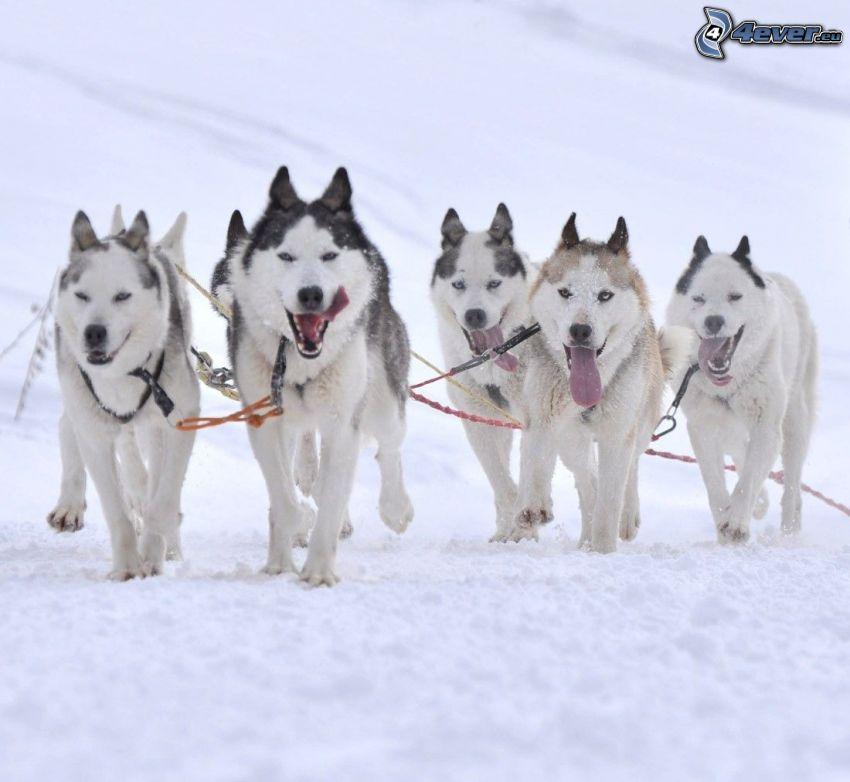 psí záprah, Sibírsky husky, sneh