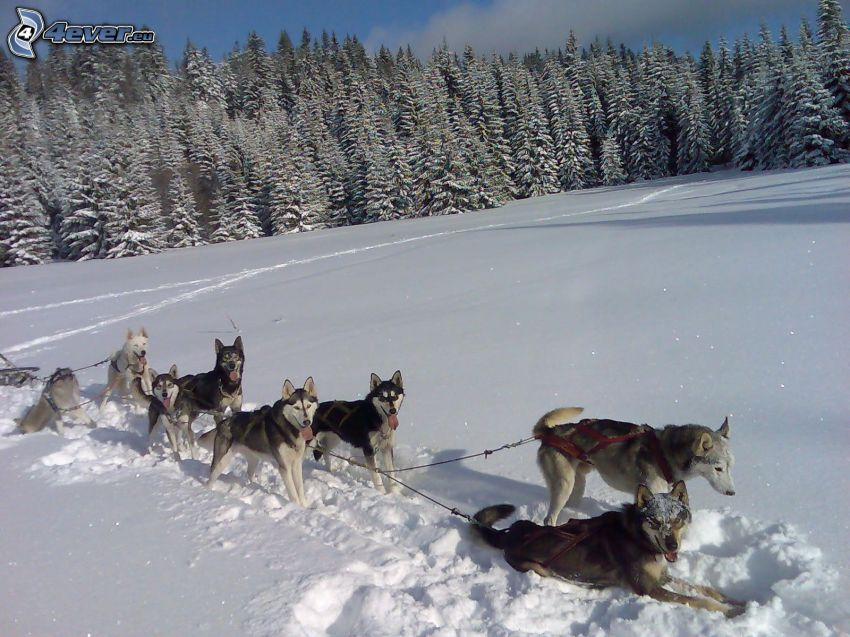 psí záprah, les, sneh, oddych